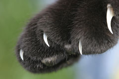Free Black Housecat Claws Are Bared Stock Photography - 719822