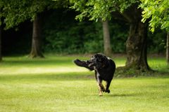 A black hovawart outdoors in nature stock photography