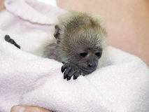 Black howler baby Stock Photos