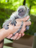 Black howler baby Royalty Free Stock Photo