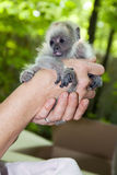Black howler baby Royalty Free Stock Photography