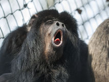 Black howler. Male black howler monkey (Alouatta caraya) is howling royalty free stock photo