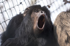 Black howler Stock Photos