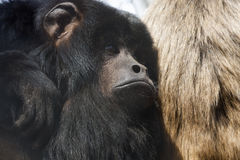Black howler Stock Photography