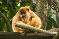 Black howler monkey Royalty Free Stock Photos