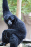 Black Howler Monkey. Resting on a branch at the honolulu zoo Stock Photos