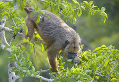Black Howler Monkey (Alouatta caraya) royalty free stock photography