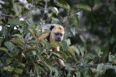 Black-howler monkey, Alouatta caraya Stock Photography