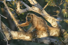 Black-howler monkey, Alouatta caraya Stock Photos