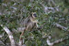 Black-howler monkey, Alouatta caraya Royalty Free Stock Photography