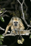 Black-howler monkey, Alouatta caraya Royalty Free Stock Photography