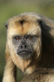 Black-howler monkey, Alouatta caraya Stock Photo
