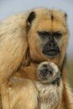 Black-howler monkey, Alouatta caraya Stock Images