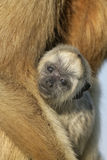 Black-howler monkey, Alouatta caraya Royalty Free Stock Image