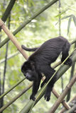 Black Howler Monkey - Alouatta Palliata Stock Photography