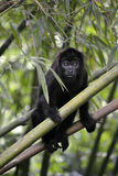 Black Howler Monkey - Alouatta Palliata Stock Image