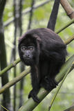 Black Howler Monkey - Alouatta Palliata Royalty Free Stock Photos