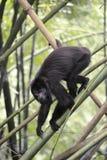 Black Howler Monkey - Alouatta Palliata Stock Image
