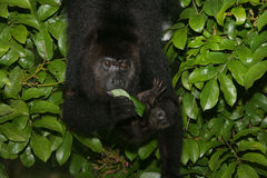 Black-howler monkey, Alouatta pigra Royalty Free Stock Image