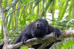 Black howler monkey howling Royalty Free Stock Photo