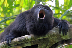 Black howler monkey howling. Black howler monkey, aluatta pigra, sitting on a tree in Belize jungle and howling like crazy. They are also found in Mexico and stock image