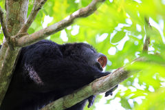 Black howler monkey howling close up Royalty Free Stock Photo