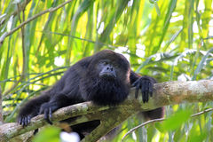 Black howler monkey looking sad stock photography