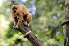 Black Howler Monkey. A Black Howler Monkey Looking at Viewer from Top of Tree Branch Stock Photo