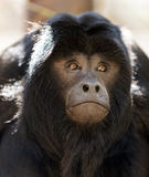 Black howler monkey Royalty Free Stock Image