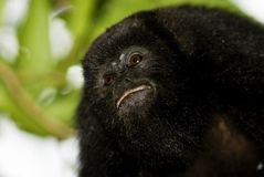 Black howler monkey portrait. Black howler monkey in Belize Royalty Free Stock Photo