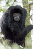 Black howler Monkey Stock Image