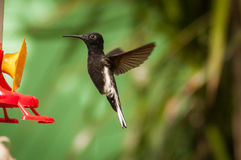 Black Hummingbird flying Royalty Free Stock Images