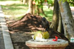 Black hungry crow searching for food on the dust bin. In the park at the tropical island royalty free stock image
