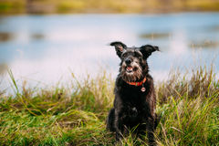 Black Hunting Dog Small Size Black Dog In Grass Near River, Lake Stock Images