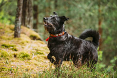 Black Hunting Dog In Summer Forest Stock Images