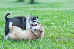Black husky and brown puppy playing with each other stock photos