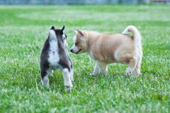 Black husky puppy and brown friend, dogs on the grass stock photo