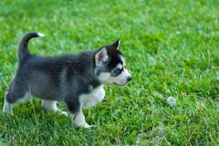 Black husky puppy walking through the grass.  stock photography