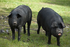 Black Iberian Pig 2. The Black Iberian Pig, also known in Portugal as Alentejano Pig, is a breed, Mediterraneus, of the domestic pig (Sus scrofa domesticus) that Stock Photography