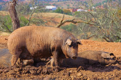 Black Iberian pig Stock Images