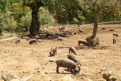 Black Iberian pig Stock Photography
