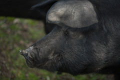 Black Iberian Pig 3 Royalty Free Stock Photos