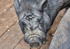 Black Iberian pig closeup Royalty Free Stock Photo