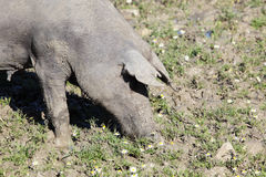Black Iberian pig on a meadow Stock Images