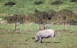 Black Iberian pig on a meadow Royalty Free Stock Images