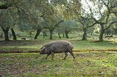 Black iberian pig in the meadow, Spain Royalty Free Stock Photography