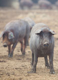 Black Iberian pigs Royalty Free Stock Image