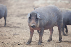 Black Iberian pigs Stock Photography