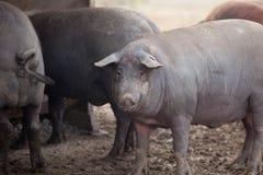 Black Iberian pigs Stock Image