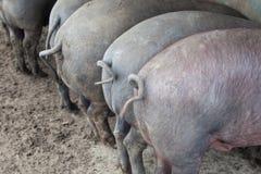 Black Iberian pigs Royalty Free Stock Photo